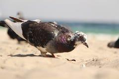Colomba alla spiaggia Fotografia Stock Libera da Diritti