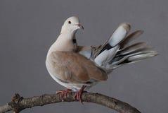 colomba Anello-con il collo, maschio Fotografie Stock Libere da Diritti
