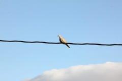 colomba Anello-con il collo su un cavo Fotografia Stock Libera da Diritti