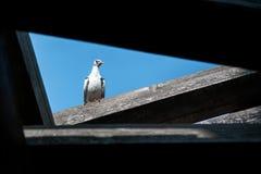 Colomba bianca contro il cielo blu Struttura triangolare, giorno soleggiato di estate fotografie stock libere da diritti