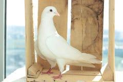 Colomba bianca di pace Fotografie Stock Libere da Diritti