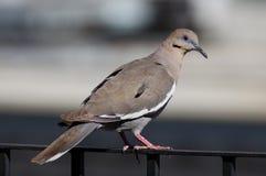 colomba Bianco-alata fotografia stock