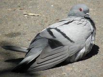 colomba Blu-grigia Fotografie Stock