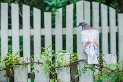 Colomba che si siede sul recinto bianco Fotografie Stock Libere da Diritti
