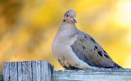 colomba che si siede sulla rete fissa Fotografie Stock