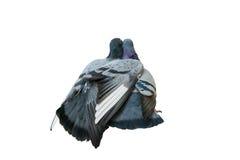 Colomba con un abbraccio della colomba Fotografia Stock Libera da Diritti