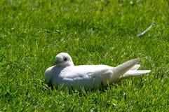 Colomba di bianco che riposa su un prato Fotografia Stock