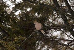 Colomba di dolore appollaiata sul ramo di albero Fotografia Stock