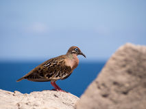 Colomba di Galapagos, galapagoensis di Zenaida Fotografia Stock
