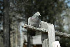 Colomba di Grey Fotografie Stock Libere da Diritti
