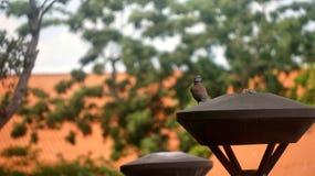 Colomba di Java Fotografie Stock Libere da Diritti
