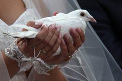 Colomba di nozze Fotografie Stock Libere da Diritti