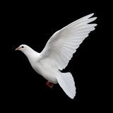 Colomba durante il volo 11 di bianco Immagini Stock