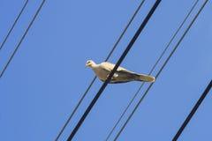 Colomba grigio chiaro che si siede sul cavo, cavo elettrico sopra cielo blu b fotografia stock