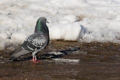 Colomba livia, colombe de roche, pigeon Photo libre de droits