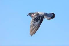 Colomba livia, piccione selvatico. fotografie stock