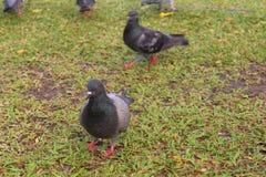 Colomba livia (pigeon de roche) à un parc Image libre de droits