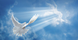 Colomba nell'aria con le ali spalancate fotografie stock libere da diritti