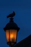 Colomba su una lanterna antiquata della via Fotografie Stock