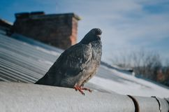 Colomba sul tetto fotografie stock libere da diritti