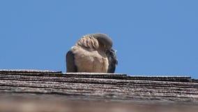 Colomba sul tetto fotografia stock