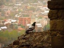 colomba sulla collina Immagini Stock