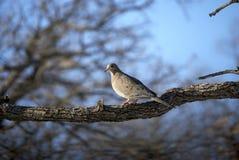 Colomba sulla filiale di albero di inverno immagine stock