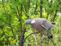 Colombaccio comune, palumbus di Columba, appollaiato sull'alimentatore dell'uccello immagine stock libera da diritti
