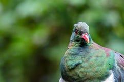 Colombaccio della Nuova Zelanda Fotografia Stock