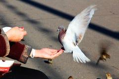 colombe Photo stock