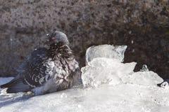 colombe Photo libre de droits