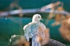 Colombe Anneau-étranglée étée perché sur la branche Photo stock