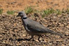 colombe Anneau-étranglée près de Paarl Afrique du Sud photographie stock