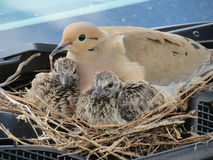Colombe avec deux bébés. Images libres de droits