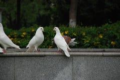 Colombe bianche nel parco pubblico della città immagine stock