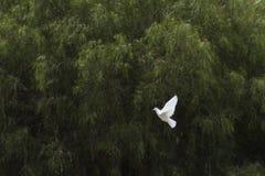 Colombe blanche de vol Photo libre de droits