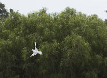 Colombe blanche 2 de vol Image libre de droits