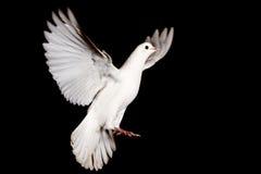 Colombe blanche du vol de paix sur un fond noir Photographie stock