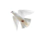 Colombe blanche en vol d'isolement sur le fond blanc Photo libre de droits