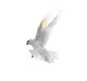 Colombe blanche en vol d'isolement sur le fond blanc Photos libres de droits