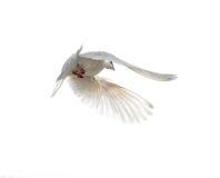 Colombe blanche en vol d'isolement sur le fond blanc Photographie stock libre de droits
