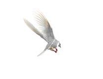 Colombe blanche en vol d'isolement sur le fond blanc Images stock