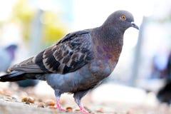 colombe Brunâtre-grise de roche ou pigeon commun dans la vue en gros plan se reposant au sol devant un urb trouble photo stock