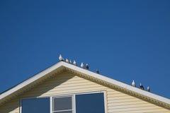 Colombe che birdssitting il fondo bianco del cielo blu del tetto Fotografie Stock Libere da Diritti