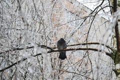 Colombe congelée sur l'arbre de glace Photographie stock