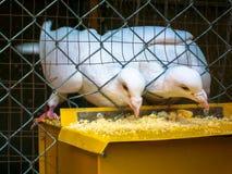 Colombe d'oiseau Photos libres de droits
