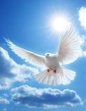 Colombe dans le ciel avec des ailes grandes ouvertes Photos stock