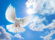 Colombe dans le ciel avec des ailes grandes ouvertes Photographie stock