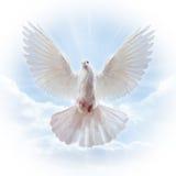 Colombe dans le ciel avec des ailes grandes ouvertes Photographie stock libre de droits