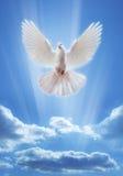Colombe dans le ciel avec des ailes grandes ouvertes Photos libres de droits